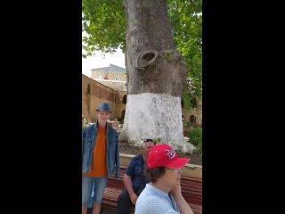 Самое старое дерево в России, Платан в Дербенте