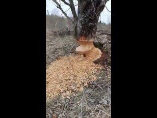 Под Грязовцем бобры сооружают лесную плотину