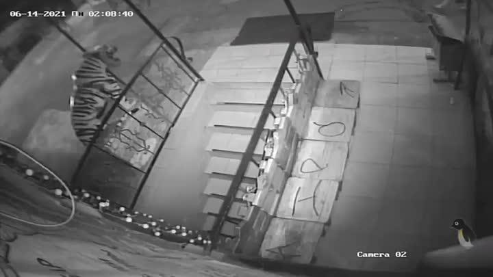 Пьяный посетитель оторвал голову тигру возле бара, в который его не пустили, потому что он был закры...
