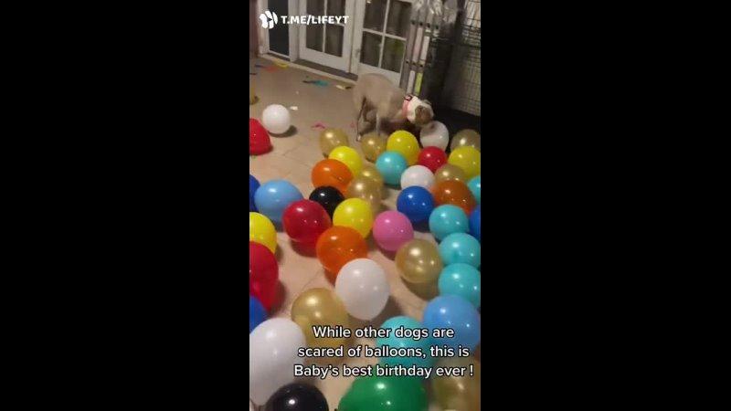 Пока другие собаки боятся шариков эта кайфует от лучшего дня рождения в жизни