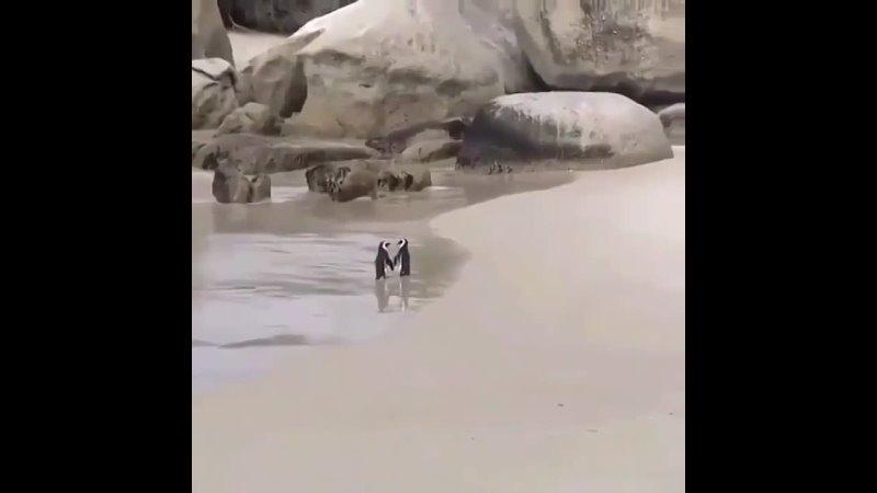 Пара пингвинов на пляже