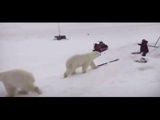 Один на один с белыми медведями
