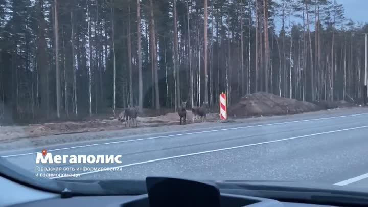 5 лосей пытаются перейти дорогу Скандинавия (Выборгское шоссе) Перед съездом на Кирилловское.