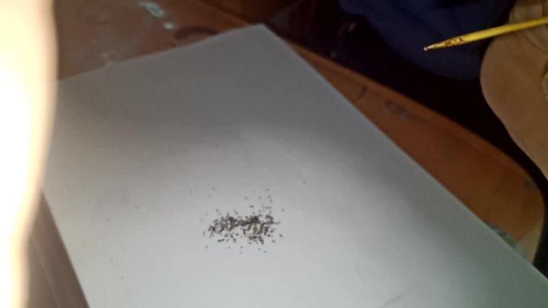 точечный посев семян табака и махорки