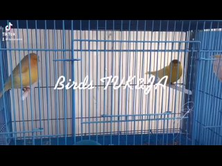 Видео от Канарейки, певчие, декоративные птицы г. Москва