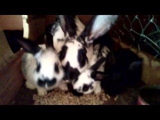 Кролики (1