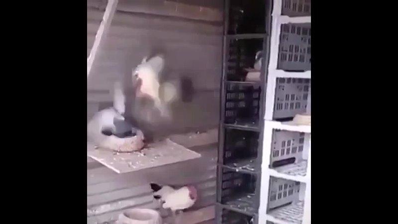 Оказывается голубь не такая уж и безобидная птица