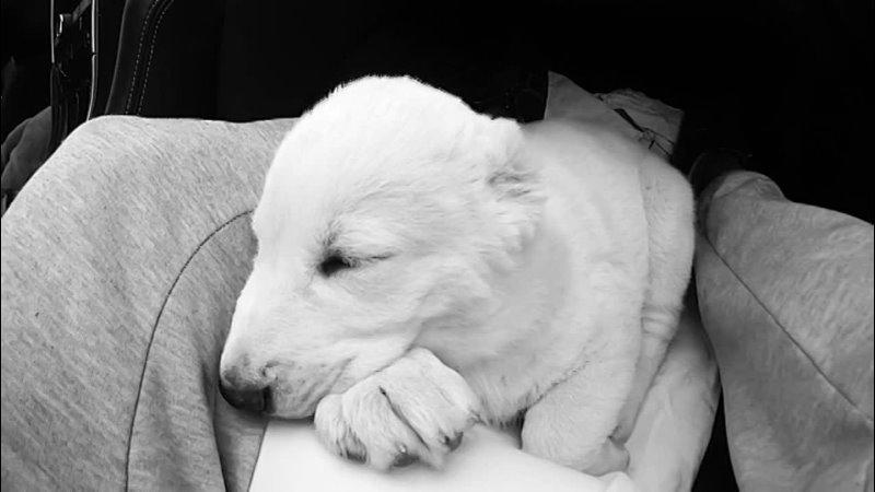 Alabai Love Dog Gunda 🥰😘😍