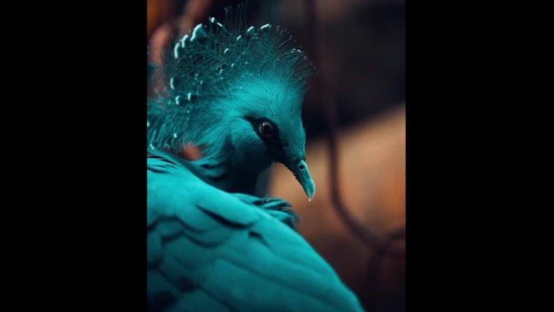 Прекрасная голубка