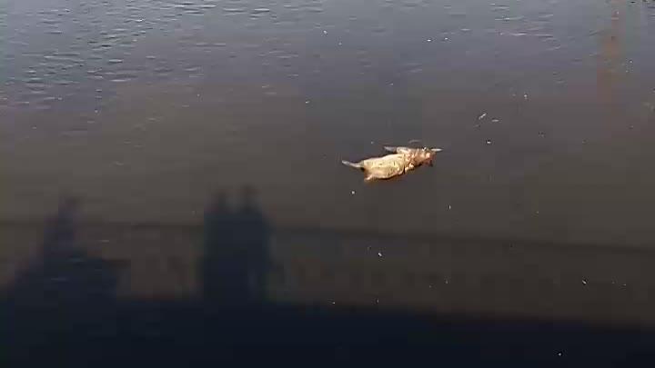 По Обводному каналу плавает тушка кабана.