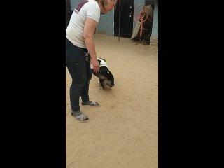 Video by Corgi team   Команда помощи корги