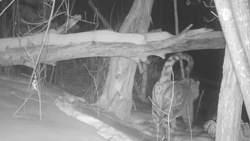 Новая информация о Дурмине, где золотодобытчики покушаются на места обитания амурского тигра