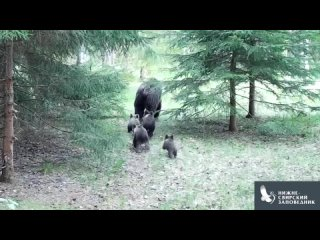 """""""Мать-героиня"""": редчайший случай появления выводка из четырёх медвежат зафиксирован в заповеднике"""