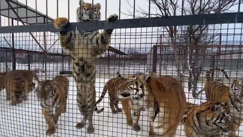 ТАКОГО ВЫ ЕЩЕ НЕ ВИДЕЛИ Все тигры встали на задние лапы