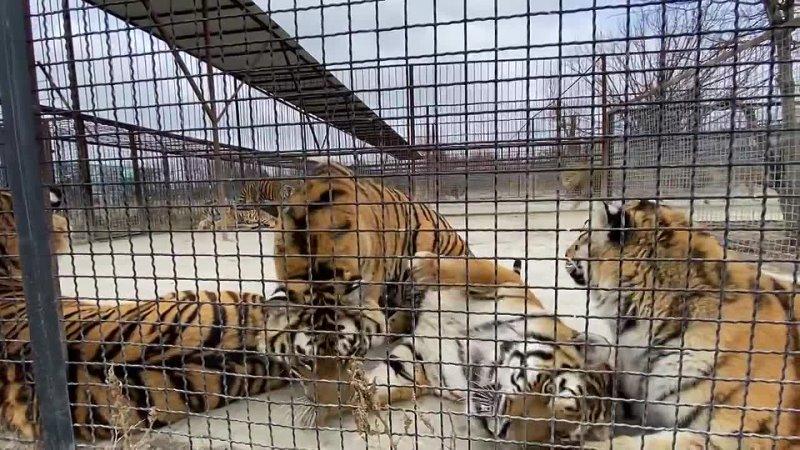 АП И тигры встали на задние лапы 12 мар 2021