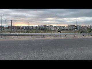 Два лосенка утром вторника прогулялись по Мурино