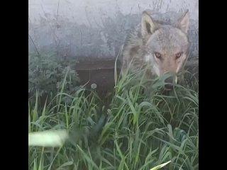 А знали ли вы, что у нас на КМВ есть единственный в мире музей волка. Это питомник волков, волкособов и хаски.🐺🐕Обитатели «Дол