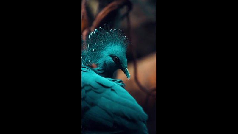 Веероносный венценосный голубь Виктория