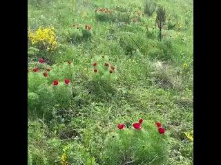 Одно из волшебных мест Воронежской области,где только одну неделю поля покрываются красивыми цветами-полевые пионы!!!Острогожски
