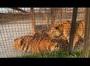 Красавцы тигры и вечерняя ПЕРЕКЛИЧКА ЛЬВОВ! Заслушаешься
