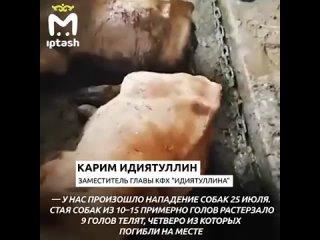 В Зеленодольском районе стая бродячих собак за неделю загрызла 13 бурёнок местного фермера