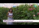 В армянском Апаране вырастили уникальные виды голландских роз