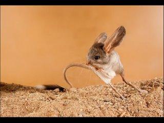 Самые необычные уши у животных.