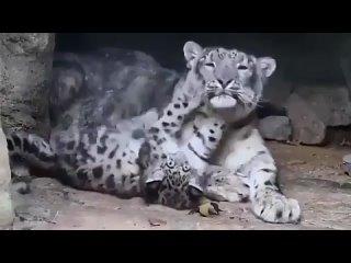 🔥 Снежные барсы настолько одинокие существа, что взаимодействуют с другими леопардами только в период размножения. Детеныши снеж