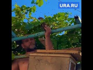 Пчеловод снимает рой голыми руками