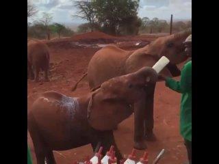 Кормление маленьких слонят в Африке.