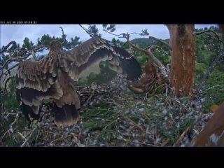 Солнечный орёл в Татарстане — Айгуль осваивает ветку — трамплин перед первым полётом!  30 07 2021