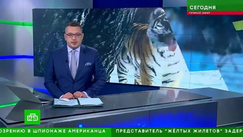 Тигрёнок Павлик готовится к жизни в дикой природе mp4