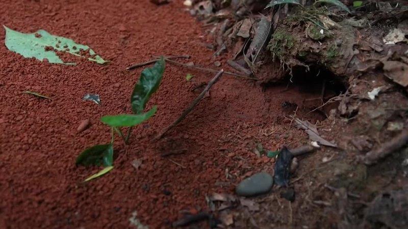 Знай ТВ Самые опасные колонии муравьев Бегите если встретите такого муравья