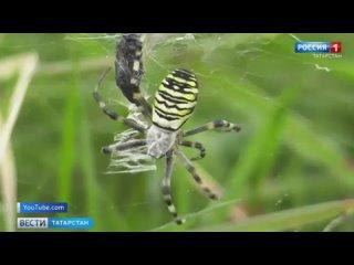 Яркие и ядовитые: в Татарстане замечены редкие виды пауков