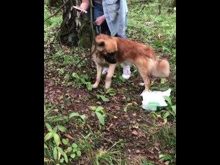 Пропала и найдена собака (Москва и Моск.область) kullanıcısından video