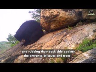 Caught on Hidden Camera Male Sloth Bear Pede-marking