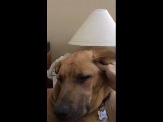 My dog makes noises if you rub his ear