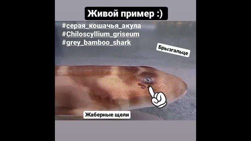Серая кошачья акула Chiloscyllium griseum