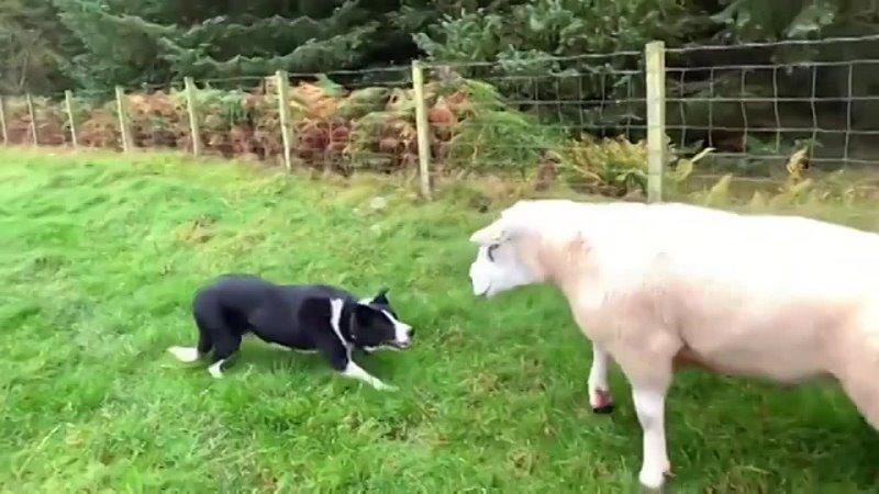 Вот как спокойно работает пастушья собака