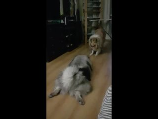 Video by Питомник шпицев Джесс Санкт-Петербург