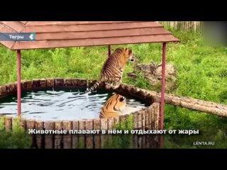 Парк для амурских тигров построил джакузи.