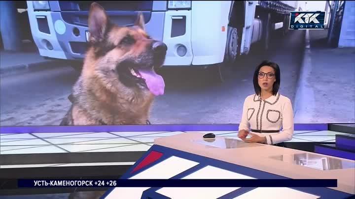 [KTK TV] Собака обнаружила особо крупную партию наркотиков в колесе автомобиля