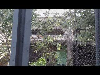 Безхвостая играет, бегая за Хвостатым. Красные волки в Московском зоопарке.