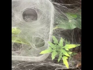 Cиднейский лейкопаутинный паук (Atrax robustus) заглотил маленькую моль
