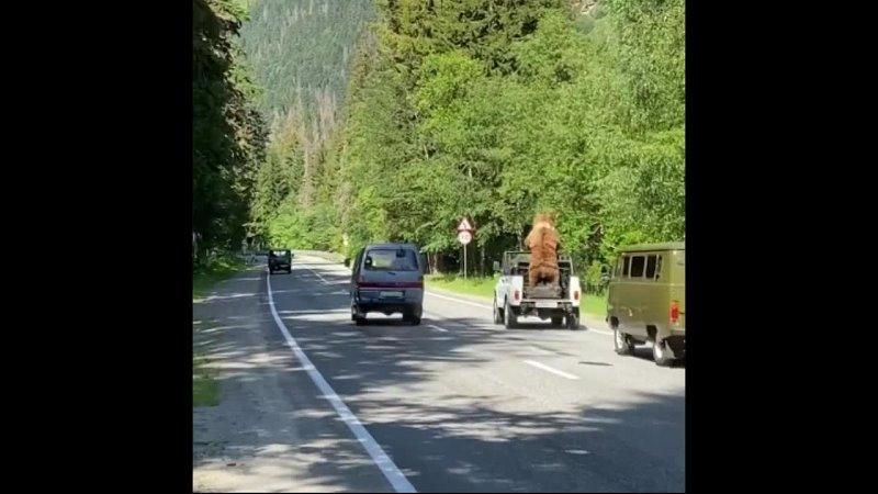 Медведь автостопщик 😂