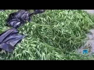 В Белгородской области полицейские выявили факт культивирования наркотикосодержащих растений в особо крупном размере.