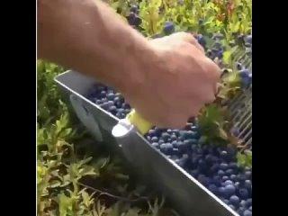 Полезный лайфхак, как легко и быстро собрать ягоды