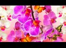 Мини орхидеи пересаживаем из магазинного торфа в перлит