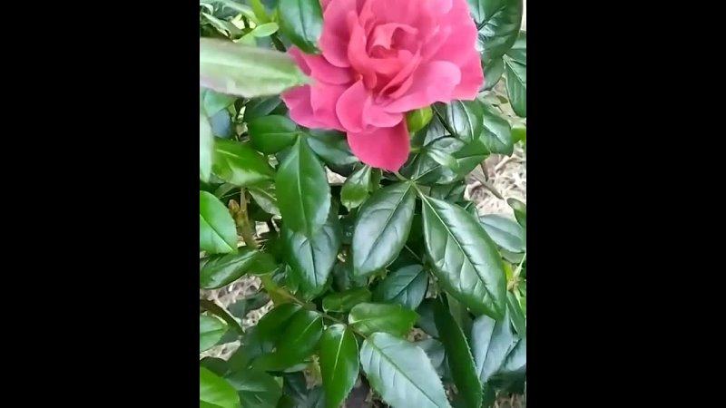 роза со звуком