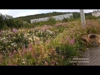 Наступила пора цветения Девичьей Ромашки.